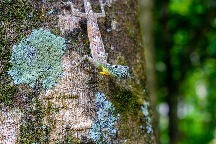 Small gecko on a tree at Tangkoko Nature Reserve in Sulawesi
