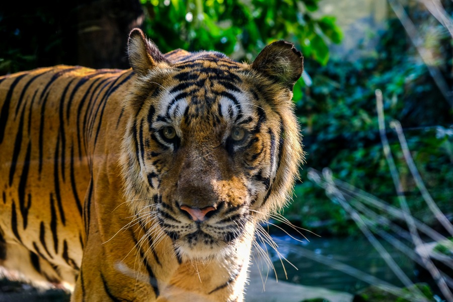 Curious tiger in a glass exhibit at the Bali Zoo