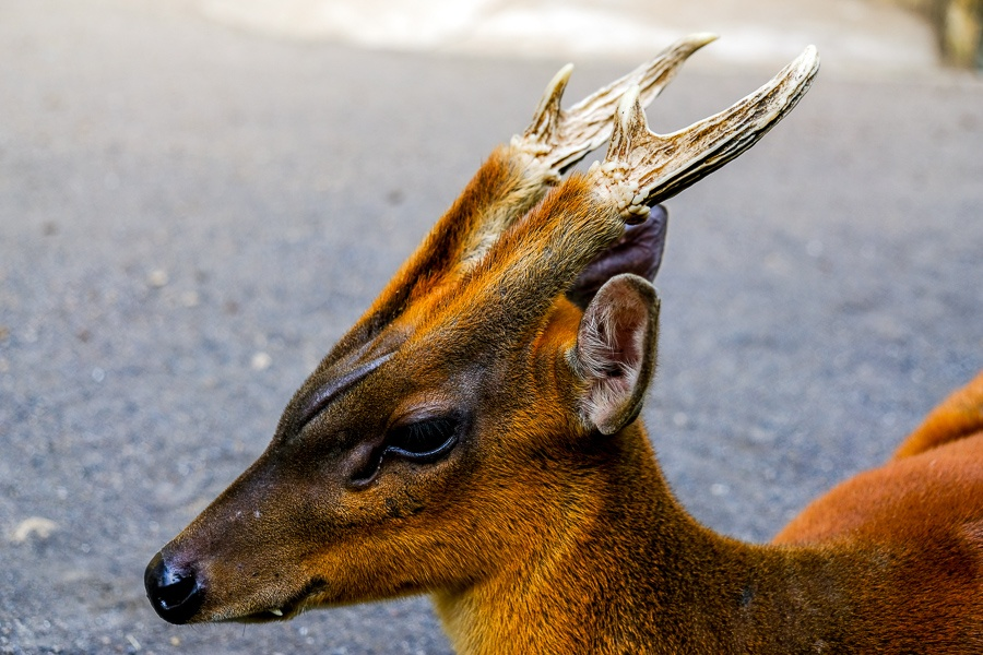 A brown deer with antlers at the Bali Zoo