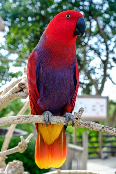 Red and orange colored parrot sitting on a tree branch at the Bali Zoo