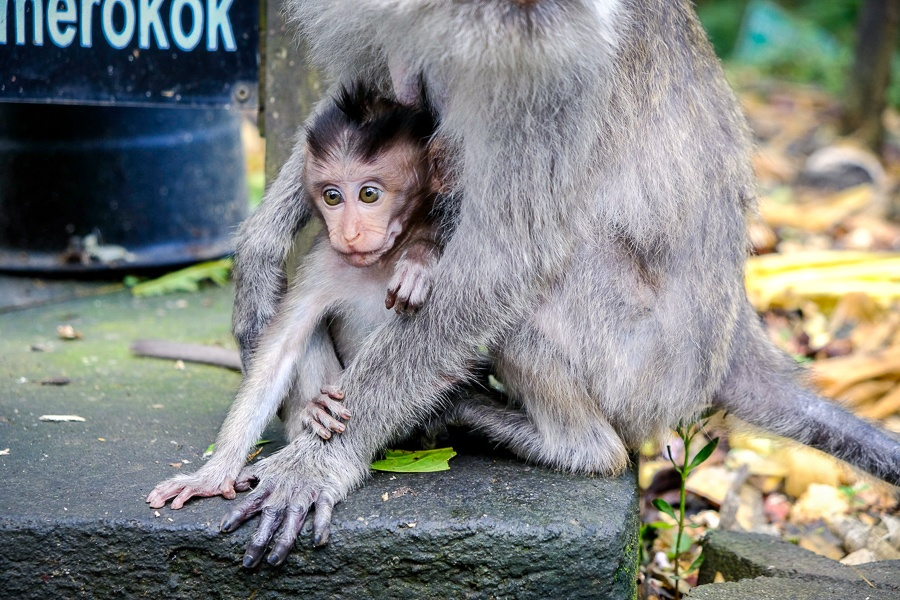 Monkey and baby at the Ubud Monkey Forest in Bali