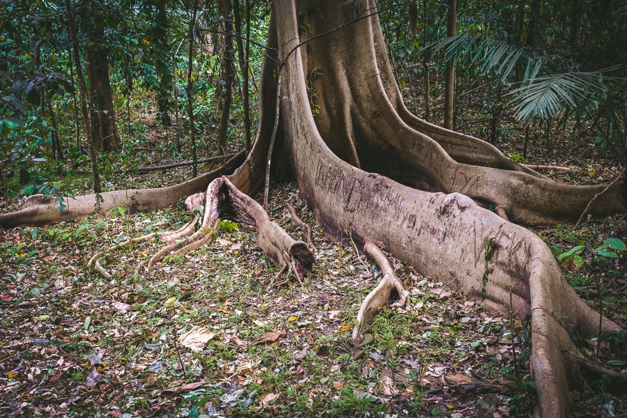 Giant tree roots at the Tangkoko Nature Reserve in Sulawesi, Indonesia