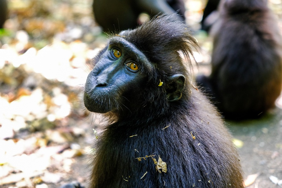 Monkey at the Tangkoko National Park Nature Reserve in Sulawesi, Indonesia