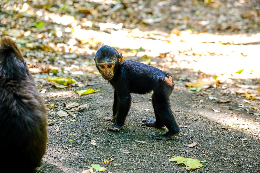 Baby monkey at the Tangkoko Nature Reserve in Sulawesi, Indonesia