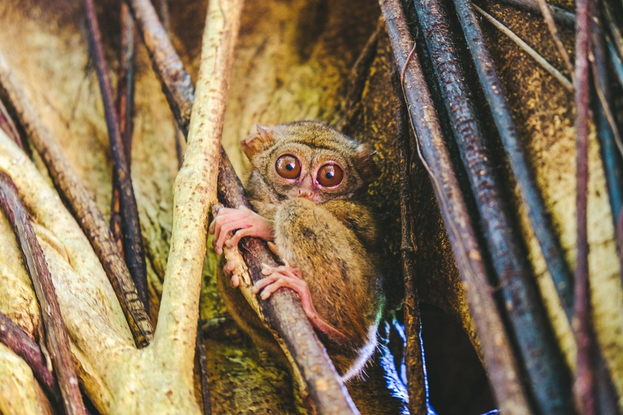 Tarsier on a tree branch at the Tangkoko National Park Nature Reserve in Sulawesi, Indonesia