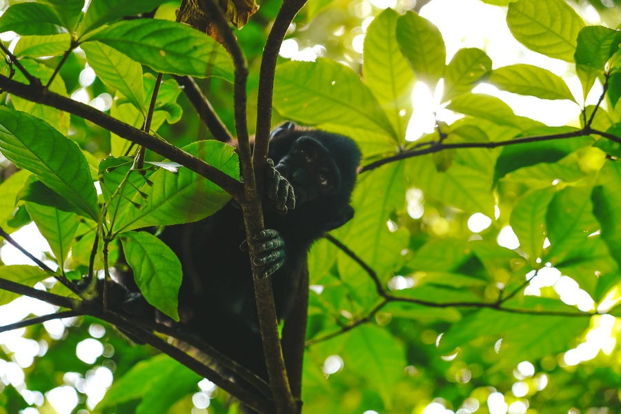 Monkey in a tree at the Tangkoko National Park Nature Reserve in Sulawesi, Indonesia