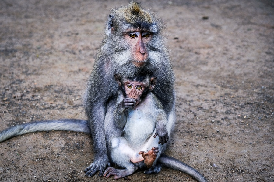 Pair of monkeys at the Ubud Monkey Forest in Bali