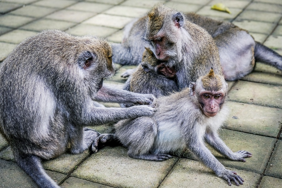 Monkeys grooming at the Ubud Monkey Forest in Bali