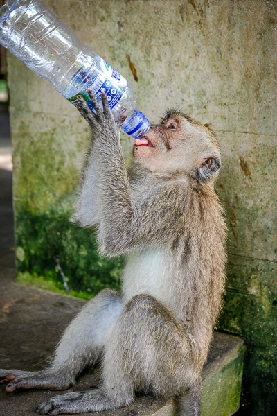 Monkey drinking a water bottle at the Ubud Monkey Forest in Bali