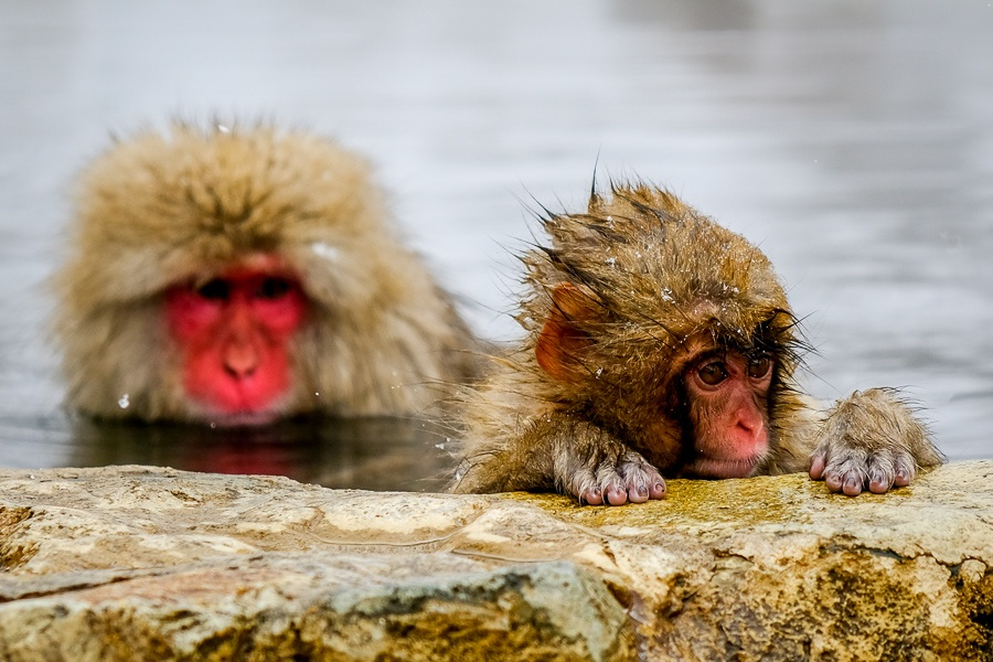 Japan Pictures snow monkey