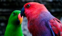 Bali Zoo red parrot and green parrot