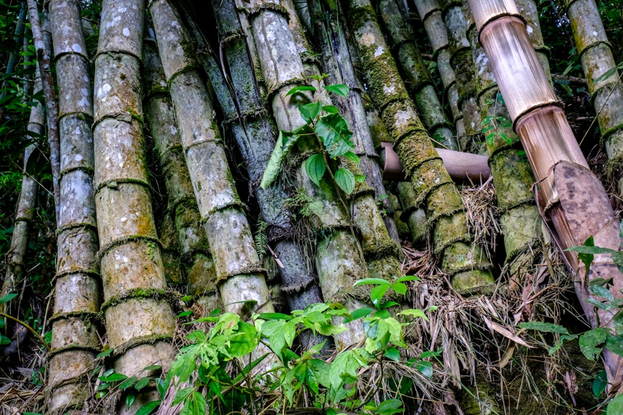 Bamboo forest at in Sulawesi