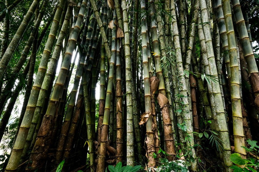 Bamboo forest at Bori