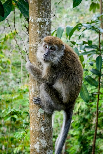 Long tailed macaque in Indonesia